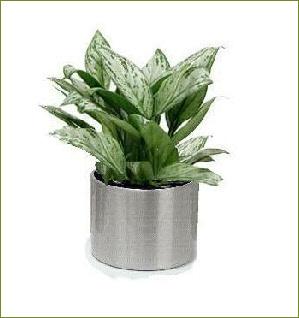 Office plants aglaonema silver queen - Hardy office plants ...