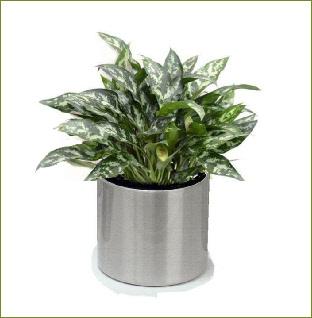 Office plants aglaonema maria - Hardy office plants ...